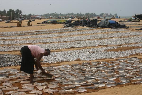 Woman Laying out fish at Negombo Fish Market